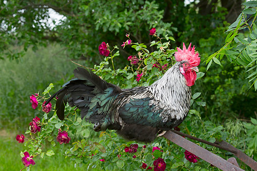BRD 14 LS0060 01 © Kimball Stock Dorking Rooster Perched On Old Rusty Plow By Rose Bush