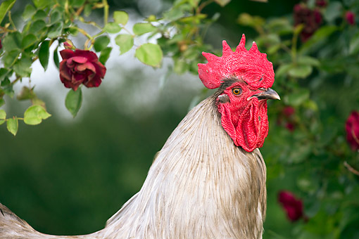 BRD 14 LS0064 01 © Kimball Stock Portrait Of Orpington Rooster Standing By Rose Bush