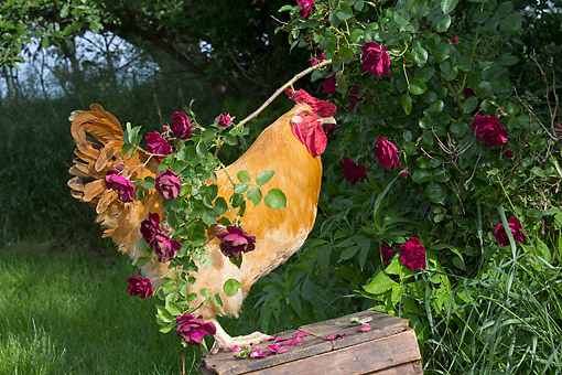 BRD 14 LS0066 01 © Kimball Stock Wyandotte Rooster Perched On Antique Wooden Egg Case In Grass By Rose Bush