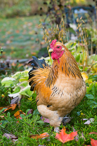 BRD 14 LS0077 01 © Kimball Stock Buff Brahma Bantam (Gold And Black) Rooster In Green Vegetation, Higganum, Connecticut
