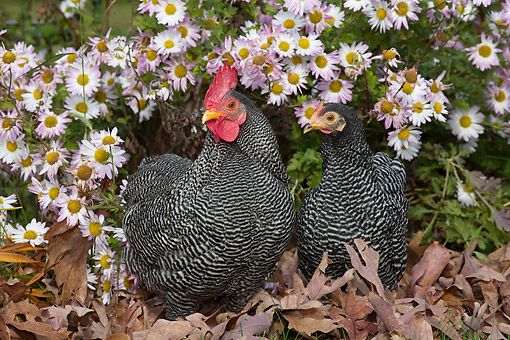 BRD 14 LS0082 01 © Kimball Stock Free-Roaming Bantam Plymouth Barred Rock Rooster And Hen Foraging In Late Autumn Oak Leaves And Chrysanthemums, Middletown, Connecticut