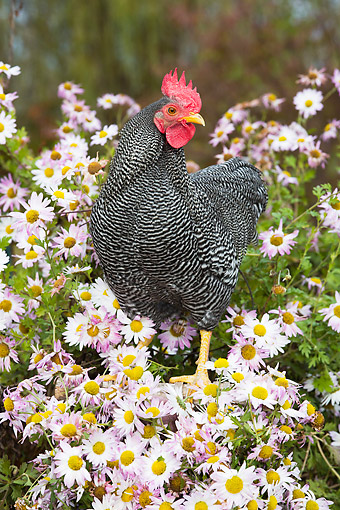 BRD 14 LS0083 01 © Kimball Stock Free-Roaming Bantam Plymouth Barred Rock Rooster Standing On Basket Among Flowers, Middletown, Connecticut