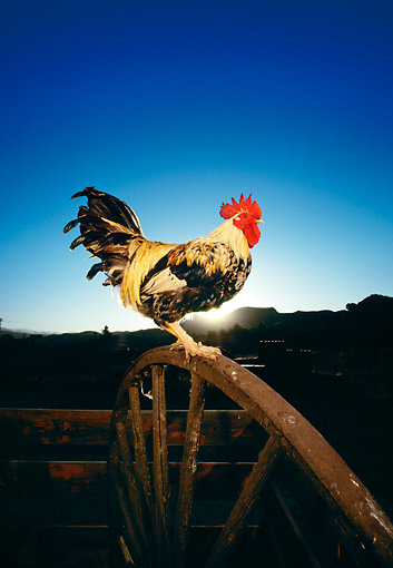 BRD 14 RK0020 05 © Kimball Stock Profile Shot Of Game Rooster On Wheel Sunset Background