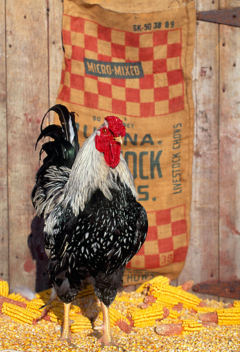 BRD 14 LS0002 01 © Kimball Stock Portrait Of Wyandotte Rooster Standing On Corn Cobs