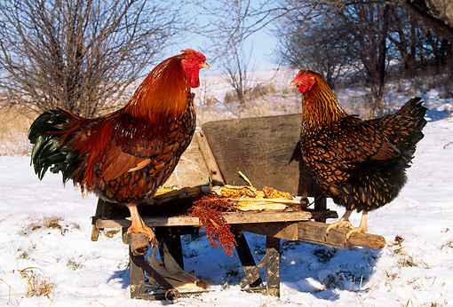 BRD 14 LS0004 01 © Kimball Stock Profile Of Gold-Laced Wyandotte Rooster And Hen Standing On Wheelbarrow By Tree In Winter