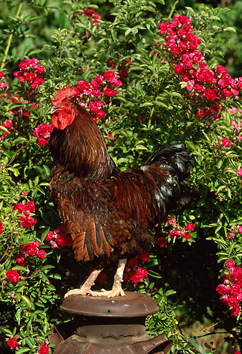 BRD 14 LS0007 01 © Kimball Stock Gold-Laced Plymouth Rock Rooster Standing On Can By Red Flowers