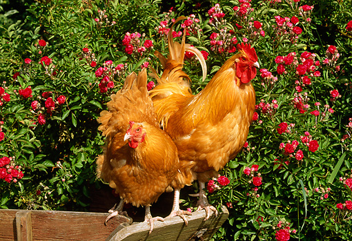 BRD 14 LS0008 01 © Kimball Stock Buff Orpington Rooster And Hen Standing On Wheelbarrow By Red Flowers