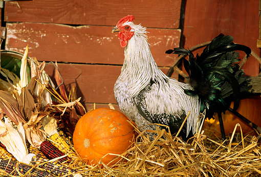 BRD 14 LS0012 01 © Kimball Stock Iowa Blue Rooster Standing In Hay By Pumpkin And Corn