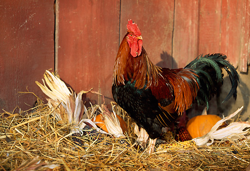 BRD 14 LS0013 01 © Kimball Stock Welsummer Rooster Standing In Hay By Pumpkin And Corn