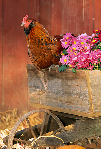 BRD 14 LS0014 01 © Kimball Stock Ameraucana Rooster Sitting By Flowers In Wheelbarrow