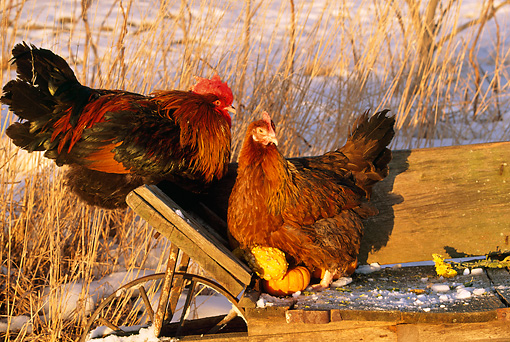 BRD 14 LS0020 01 © Kimball Stock Portrait Of Red Dorking Rooster And Hen Perching On Wheelbarrow On Snow