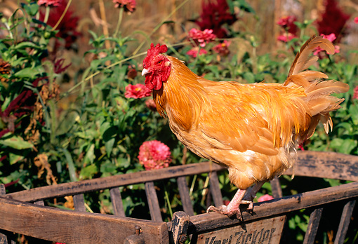 BRD 14 LS0030 01 © Kimball Stock Buff Orpington Rooster Standing On Manger By Red Flowers