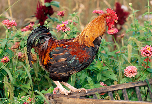 BRD 14 LS0032 01 © Kimball Stock Welsummer Rooster Standing On Manger By Pink Flowers
