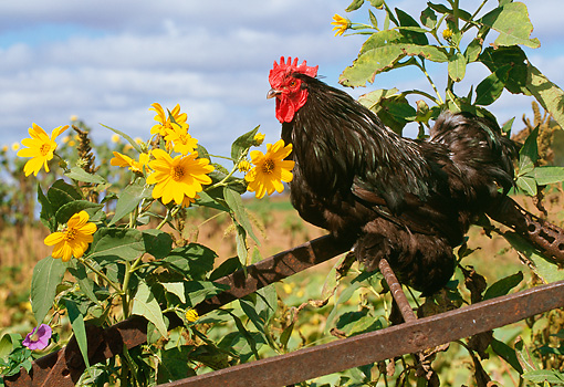 BRD 14 LS0033 01 © Kimball Stock Cochin Bantam Rooster Standing On Wheelbarrow By Yellow Flowers
