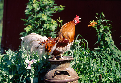 BRD 14 LS0037 01 © Kimball Stock Red Pyle Cubalaya Rooster Standing On Can In Garden Crowing