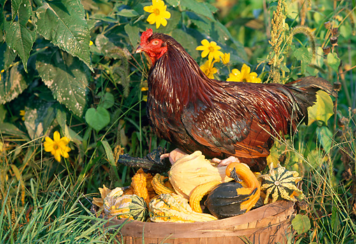 BRD 14 LS0044 01 © Kimball Stock Buckeye Rooster Standing On Gourds In Wooden Bucket On Grass By Yellow Flowers