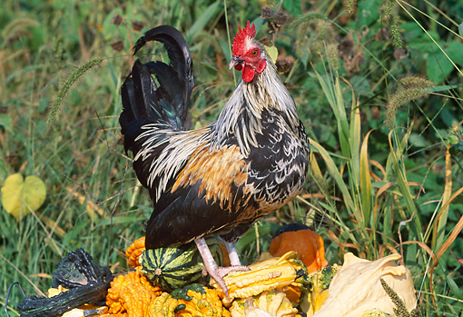 BRD 14 LS0045 01 © Kimball Stock Mixed Breed Rooster Standing On Gourds In Grass