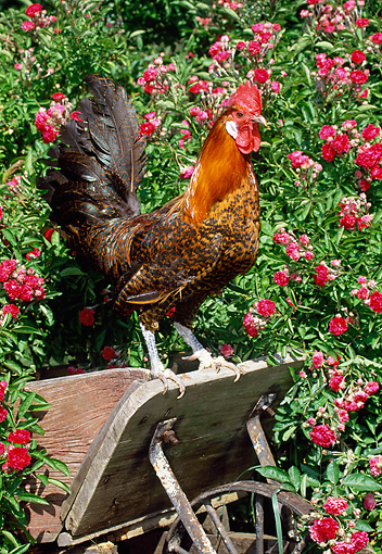 BRD 14 LS0049 01 © Kimball Stock Gold Campine Rooster Standing On Old Farm Equipment By Pink Flowers