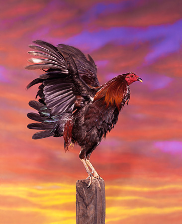 BRD 14 RK0006 03 © Kimball Stock Profile Shot Of Rooster Standing On Pole  Sunset