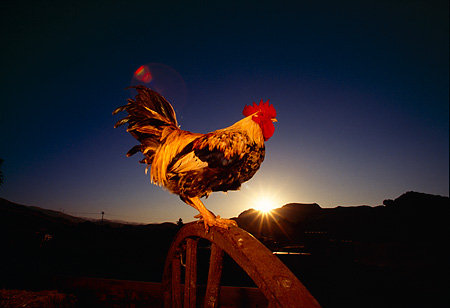 BRD 14 RK0029 01 © Kimball Stock Profile Shot Of Game Rooster Standing On Wheel Sunset Background