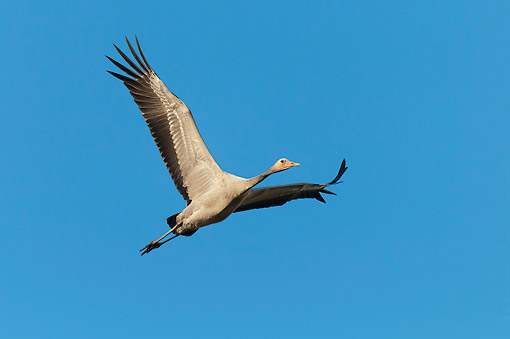 BRD 16 AC0006 01 © Kimball Stock Common Crane (Also Called Eurasian Crane) Flying Through The Air