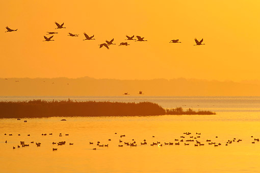 BRD 16 AC0007 01 © Kimball Stock Common Cranes Flying At Sunset In Mecklenburg-Western Pomerania, Germany