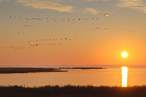BRD 16 AC0008 01 © Kimball Stock Common Cranes Flying At Sunset In Mecklenburg-Western Pomerania, Germany