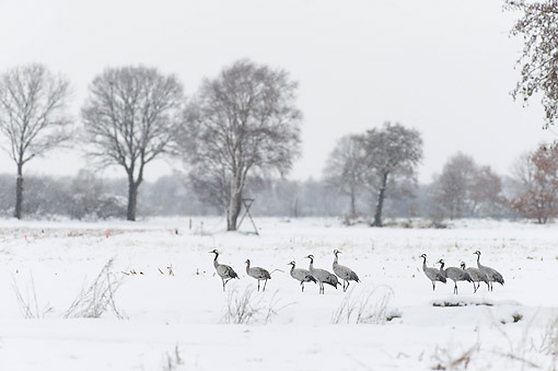 BRD 16 AC0009 01 © Kimball Stock Common Cranes Walking On Snowy Landscape