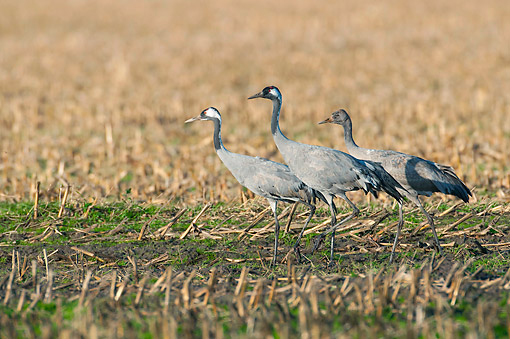 BRD 16 AC0012 01 © Kimball Stock Common Cranes Pair Walking With Young In Marsh, Lower Saxony, Germany
