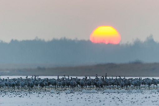 BRD 16 AC0013 01 © Kimball Stock Common Crane Flock On Landscape At Sunset, Lower Saxony, Germany