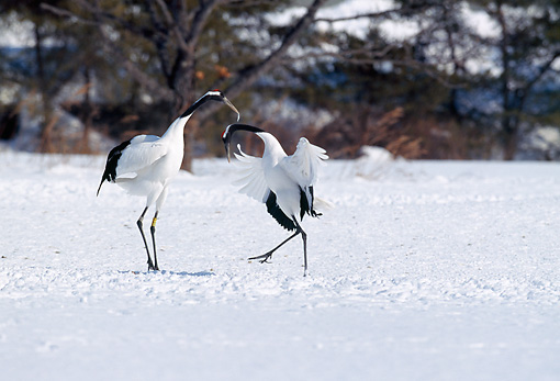 BRD 16 GL0001 01 © Kimball Stock Red-Crowned Cranes Standing In Snow