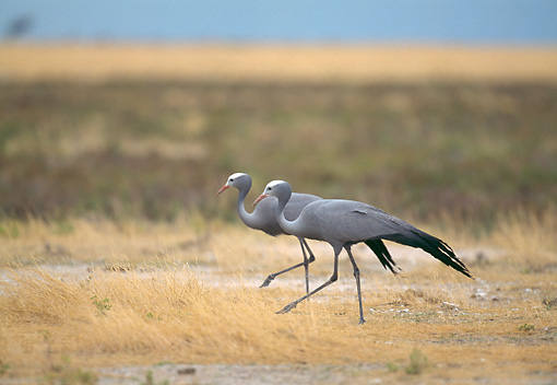 BRD 16 GL0004 01 © Kimball Stock Two Blue Cranes Walking Through Savanna In Namibia