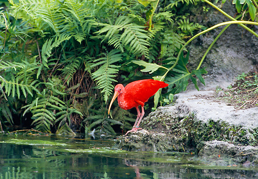 BRD 16 GL0005 01 © Kimball Stock Scarlet Ibis Standing On Rock At Edge Of Pond