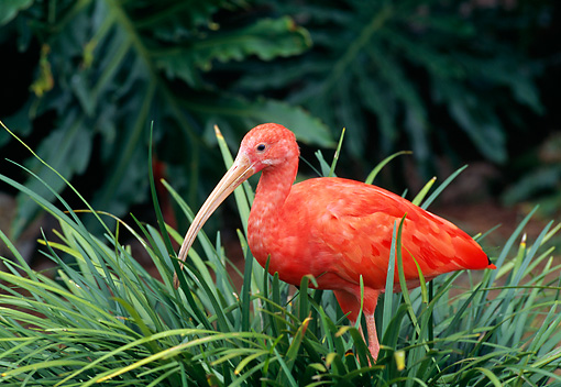 BRD 16 GL0006 01 © Kimball Stock Scarlet Ibis Standing In Grass