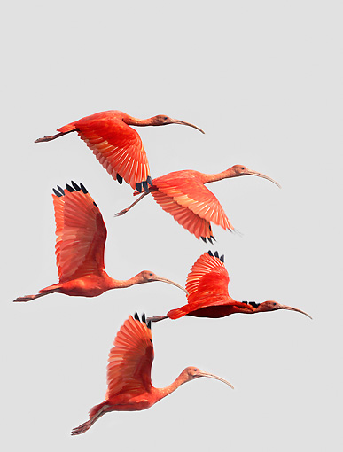 BRD 16 JE0001 01 © Kimball Stock Scarlet Ibis Flying Studio