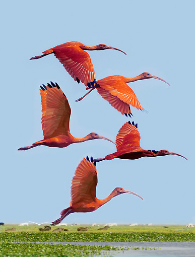BRD 16 JE0002 01 © Kimball Stock Scarlet Ibis Flying Over Pond
