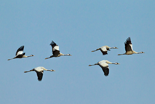 BRD 16 KH0004 01 © Kimball Stock Flock Of Common Cranes In Flight France