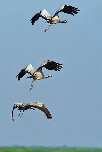 BRD 16 KH0005 01 © Kimball Stock Three Common Cranes In Flight France