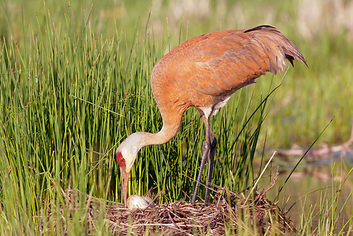 BRD 16 LS0003 01 © Kimball Stock Greater Sandhill Crane Rolling Eggs On Nest