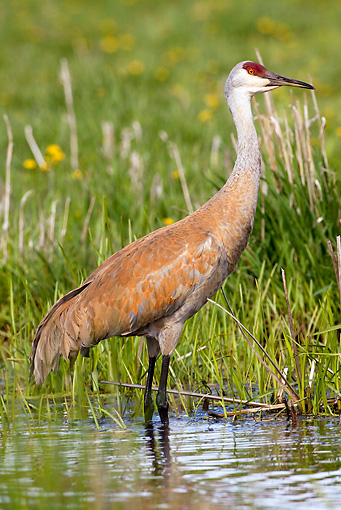BRD 16 LS0006 01 © Kimball Stock Greater Sandhill Crane Standing In Shallow Water By Nest
