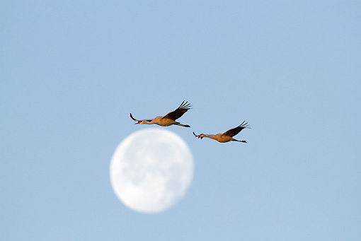 BRD 16 LS0007 01 © Kimball Stock Sandhill Cranes Flying Past Moon On Migration Stop Indiana