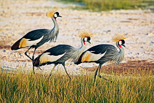 BRD 16 MH0007 01 © Kimball Stock Group OF Crowned Cranes Walking In Field