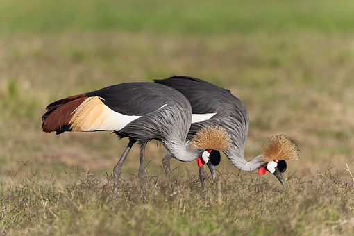 BRD 16 MH0009 01 © Kimball Stock Crowned Cranes (Endangered Species) Pecking In Grass In Amboseli National Park, Kenya