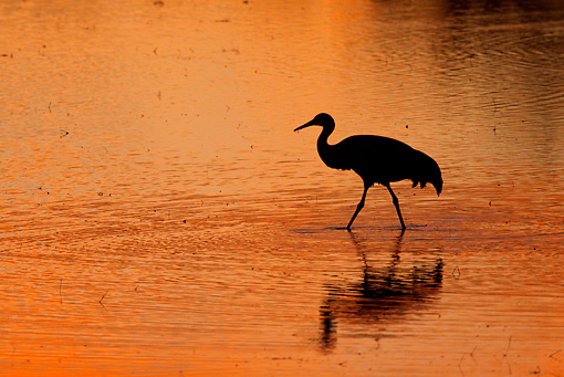 BRD 16 RW0002 01 © Kimball Stock Silhouette Of Sandhill Crane Walking In Marsh
