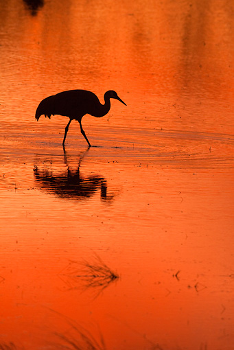 BRD 16 RW0003 01 © Kimball Stock Silhouette Of Sandhill Crane Walking In Marsh