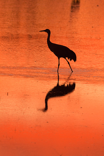 BRD 16 RW0004 01 © Kimball Stock Silhouette Of Sandhill Crane Walking In Marsh