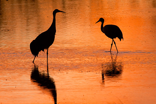 BRD 16 RW0005 01 © Kimball Stock Silhouette Of Sandhill Cranes Walking In Marsh