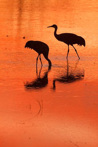 BRD 16 RW0007 01 © Kimball Stock Silhouette Of Sandhill Cranes Walking In Marsh