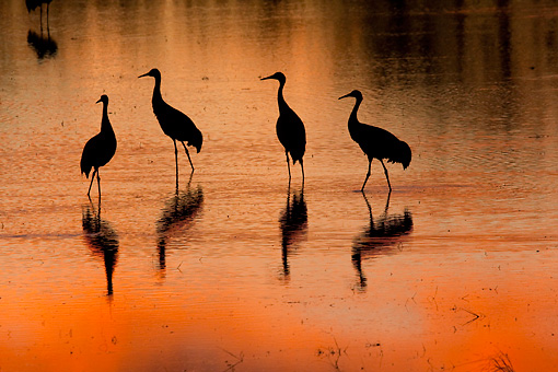 BRD 16 RW0008 01 © Kimball Stock Silhouette Of Sandhill Cranes Walking In Marsh