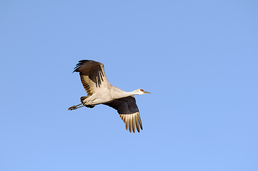 BRD 16 SK0001 01 © Kimball Stock Sandhill Crane Flying In Early Morning